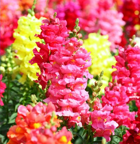 snapdragon flowers snapdragon flowers pinterest
