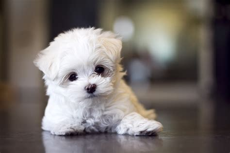 maltese puppies maltese puppy pets amazing pets
