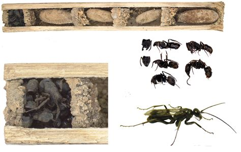 wasps in house horror movie bugs new wasp species builds nest with the bodies of dead ants
