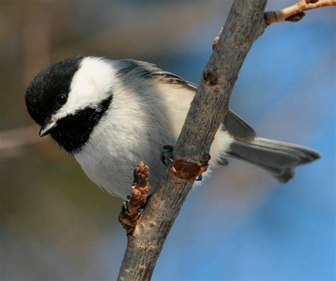 maine state bird black capped chickadee