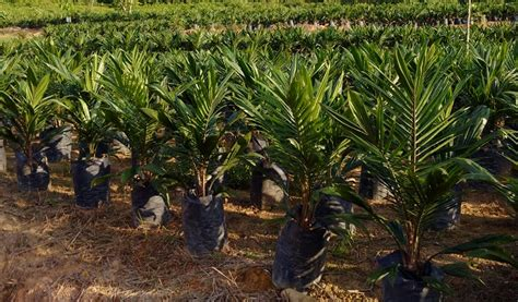 Bibit Sapi Umur 6 Bulan bibit benih unggul kelapa sawit di bengkulu