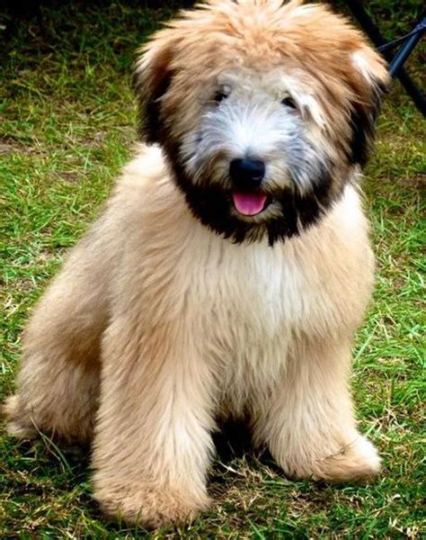 dogs with beards top 10 alpha dogs with beards paperblog