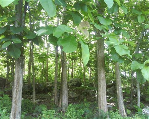 macam tumbuhan  terancam punah ruana sagita