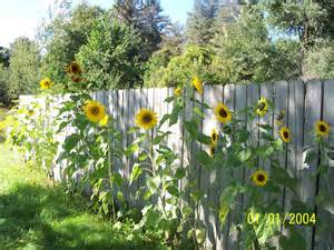 sunflower pics flowers growing concrete backyard garden trees grass lawn flowers