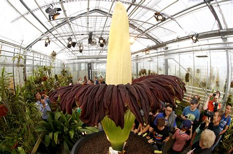 Largest Botanical Garden In World Corpse Flower Bloom After 9 Years Brings Hundreds To Kerala Garden News18