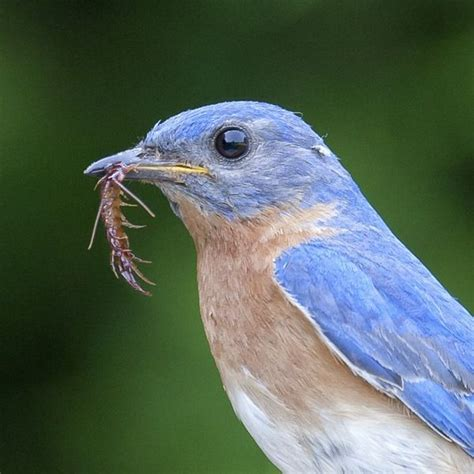 eastern bluebird with food for young birds pinterest