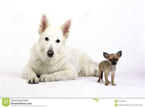 kaukasian dog with short hair white short hair chihuahua dog stock photo cartoondealer