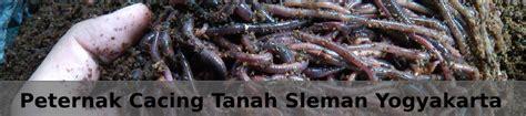 Budidaya Cacing Yogyakarta cara budidaya cacing tanah