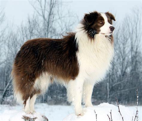 border collie puppy pictures border collie puppies rescue pictures information temperament characteristics