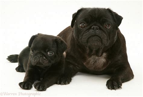 white and black pug dogs black pug and pup photo wp35932