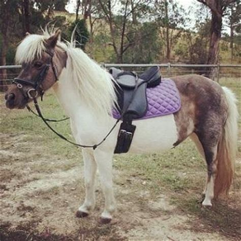 Sho Kuda Yang Kecil up hewan ini kecil banget dah nyalinya kecil juga gak ya