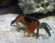 red claw crab red clawed crab care freshwater crab african dwarf frog habitats aquariums fish tanks and