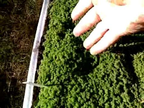 Jual Bibit Azolla Microphylla terjual jual bibit azolla microphylla kaskus