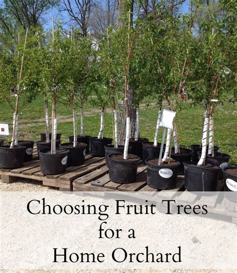 backyard fruit orchard 25 best ideas about fruit trees on pinterest planting fruit trees fruit tree
