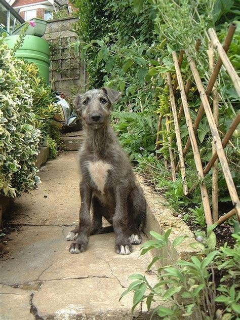deerhound puppies scottish deerhound puppy dogs puppys and scottish deerhound