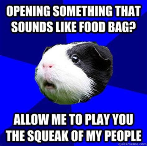 Guinea Pig Meme - guinea pig meme