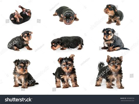 puppy growth stages stages of growth puppy terrier up to 2 months stock foto 385888558