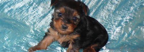 free puppies in des moines iowa breeders in des moines iowa dogs breed sierramichelsslettvet