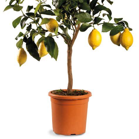 limone pianta in vaso limone ordinario fiorentino oscar tintori gli agrumi
