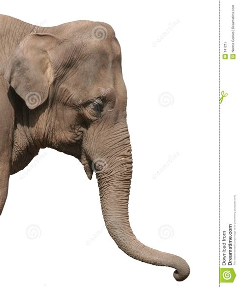 an elephant head isolated stock photography image 141212