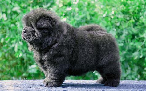 black fluffy puppy wallpaper 2560x1600 puppy black fluffy 2560x1600 hd background