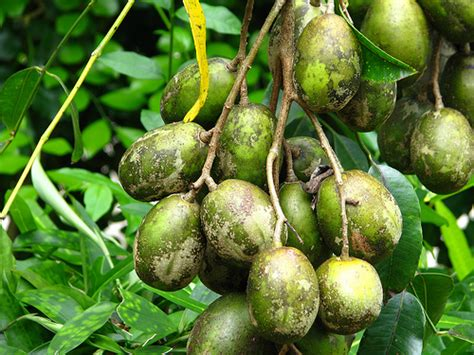 Tanaman Kedondong Bangkok Siap Buah mengejutkan inilah sejuta khasiat yang telah terungkap dari buah kedondong cara cantik