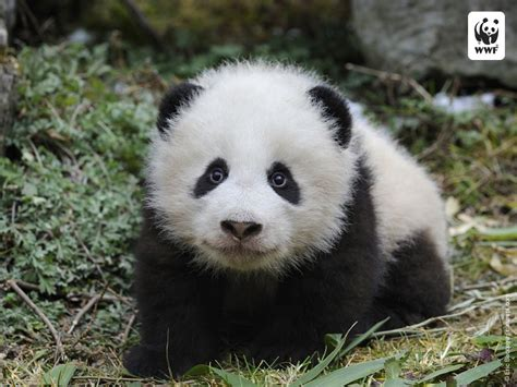 Baby Panda One baby pandas bit of a wwf cliche the cuddly baby