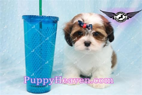 shih tzu puppies los angeles jazz shih tzu puppy in los angeles found a new loving home adopted puppies