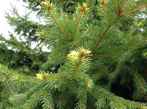 histoire du sapin de no 235 l l arbre de no 235 l