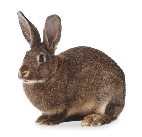 rabbit images rabbit facts for hare facts dk find out