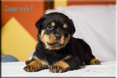 rottweiler puppies for sale in nd rottweiler puppies for sale by german rottweiler breeder vom bullenfeld