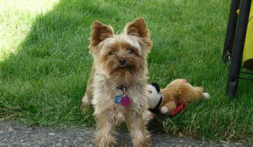 best food for yorkie with allergies breeds info