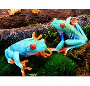 Colorful Frogs HQ 1600 X 1200  Photo 5 Of 20 Phombocom