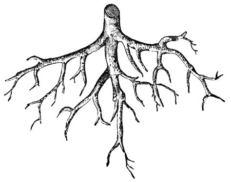 root clipart
