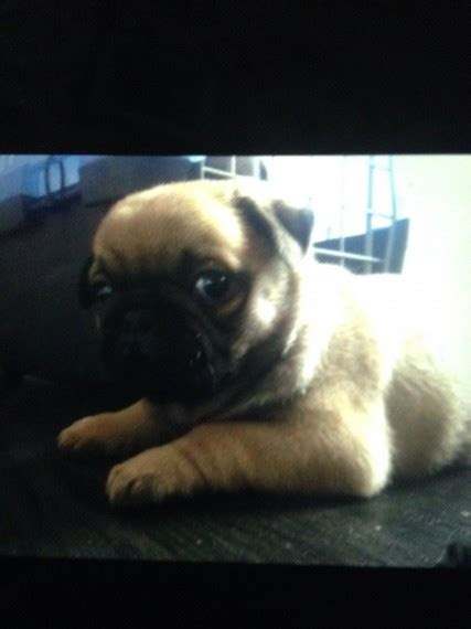 pugs for sale in staffordshire pug for sale lichfield staffordshire pets4homes