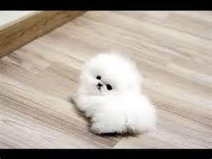 Pomeranian puppies cute pet pom poms cutest pomeranians dwarf spitz