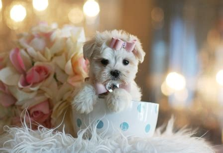 puppies for sale in miami fl teacup dogs for sale in miami south florida
