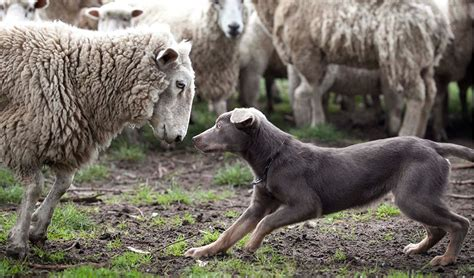 working breeds australian working breeds herding australian geographic