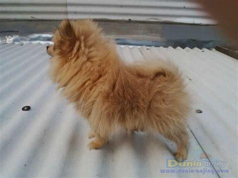 Anjing Minipom Stambum dunia anjing jual anjing pomeranian minipom betina 3