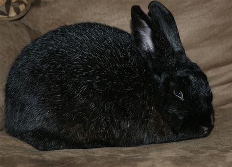 breed spotlight silver fox rabbit livestock nerd