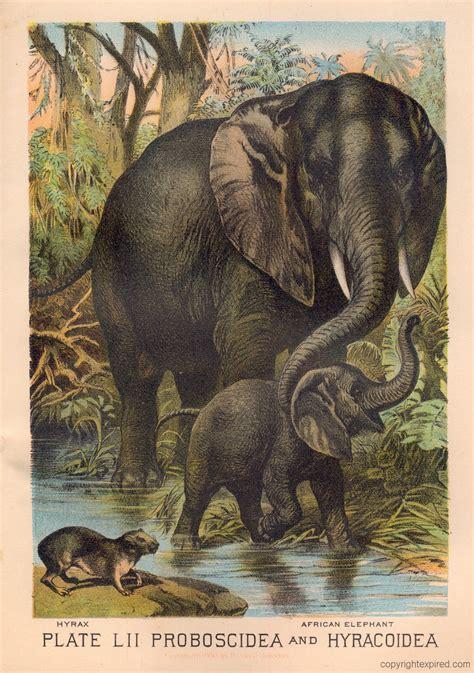 animal kingdom hyrax elephant