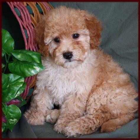 bichon poodle puppies bichon poodle poochon bichpoo puppies for sale in iowa