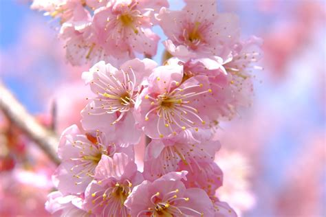 when did japan give us cherry blossoms 100 when did japan give us cherry blossoms color japan