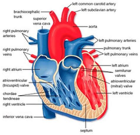 the heart is a heart diagram the human heart