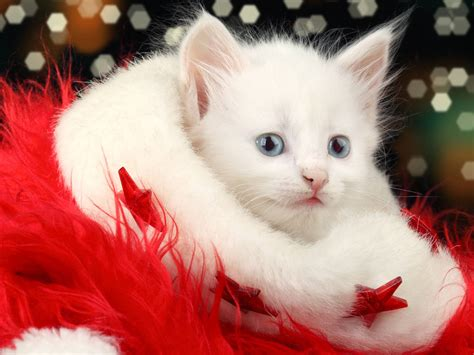 wallpaper cats christmas christmas cat wallpapers wallpaper cave