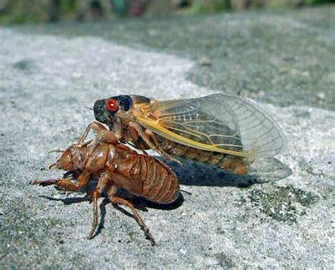 crazy for cicadas weelunk
