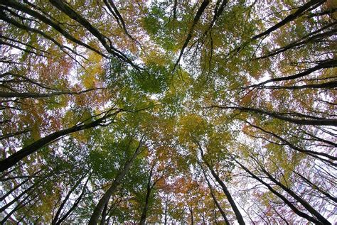 Trees With Canopy 17 Best Images About Tree Canopies On Trees