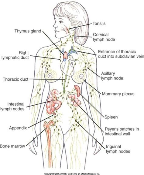 What Is A Lymp Node Detox Machine by Best 25 Lymph Nodes Ideas On Lymph Detox