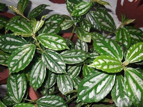 piante da vaso per esterno sempreverdi piante da vaso sempreverdi per esterno con piante da