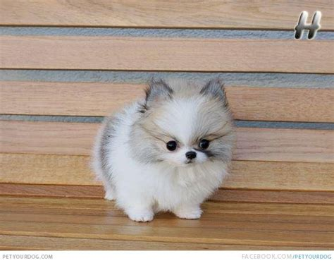 tiny pomeranians pomeranian pictures wacky or pictures and